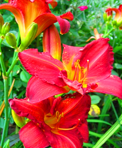 red lillies